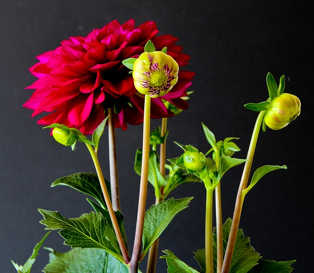 Free flowers plant nature dahlias red