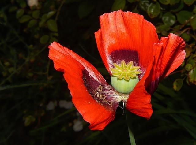 Free poppy flower red klatschmohn colorful summer