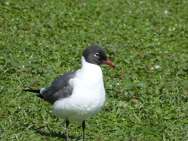 Free laughing gull bird watching bird florida gull