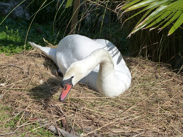 Free mute swan swan bird watching lake morton wildlife