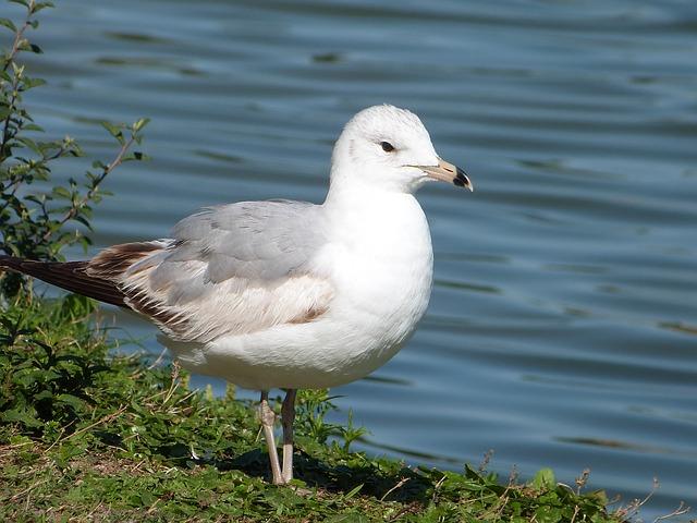 Free ring-billed gull seagull bird watching lake morton
