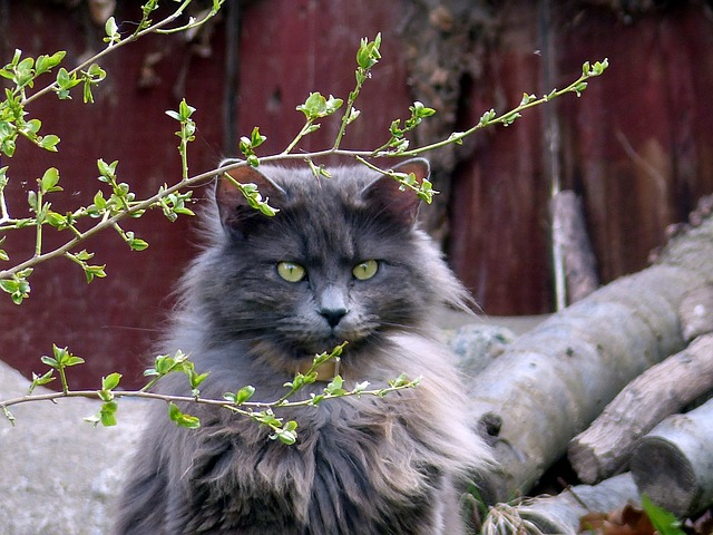 Free animal cat feline long haired attitude