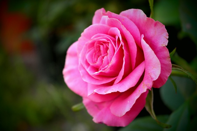 Free rose flower deep pink love detail macro