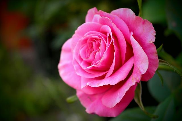 Free Photos: Rose flower deep pink love detail macro | Simona Robová
