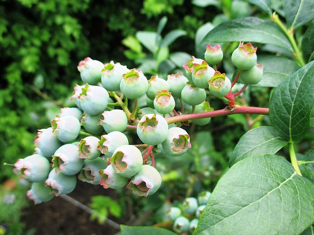 Free berries blueberries immature fruits vitamins fruit