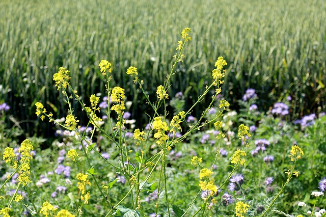 Free nature flora flowers oilseed rape rape blossoms