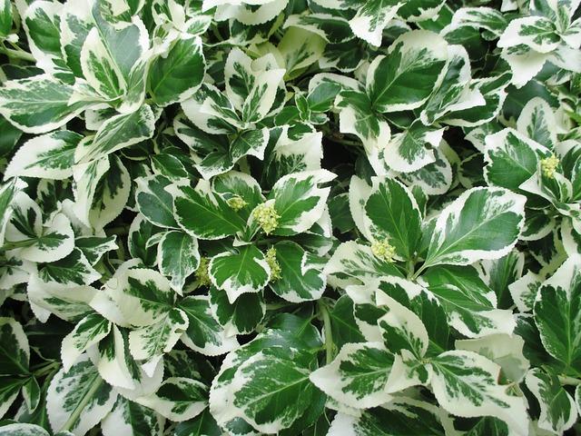 Free bush ornamental plant garden leaves white green