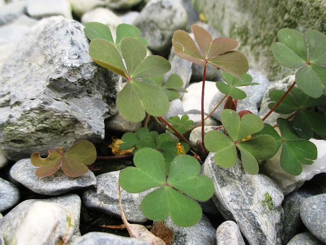 Free lucky clover green leaves heart shaped stones