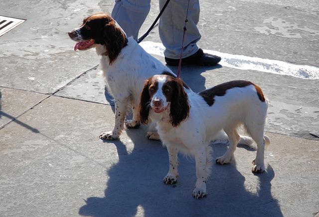 Free springer spaniel dog animal