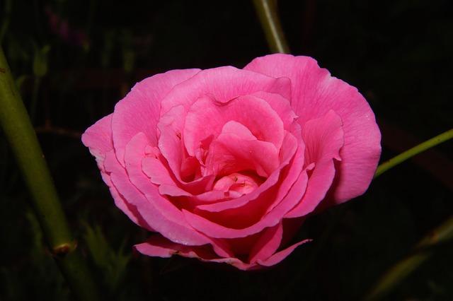 Free rose flower pink summer garden close