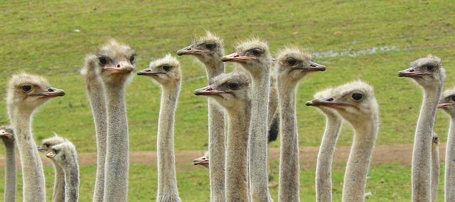 Free ostriches strauss bouquet bird big bird portrait