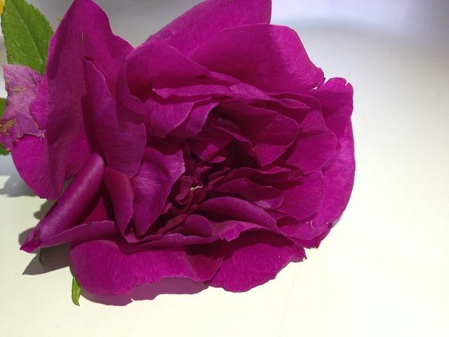 Free flower pink rose pink flower ornamental plant