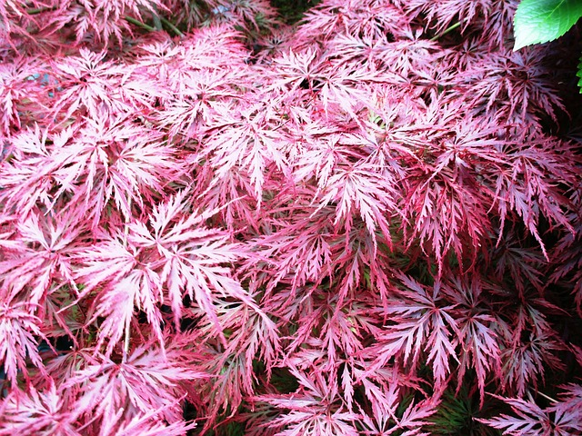 Free bush spring maple red plant tender summer