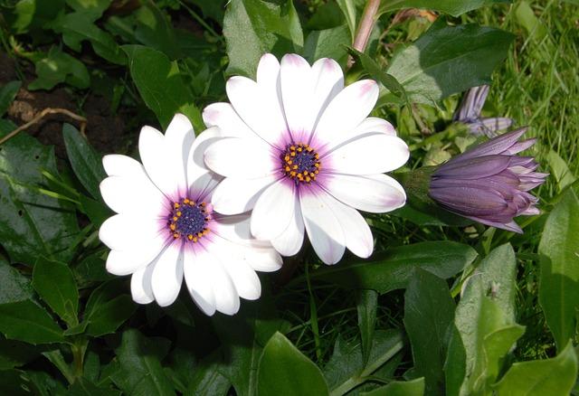 Free osteospermum african daisy flower bloom closeup