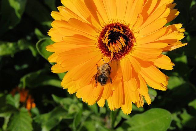 Free marigold calendula flower orange blossom closeup