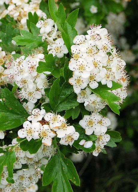 Free Photos: Hawthorn may-tree white blossom closeup flower | Steve Bidmead