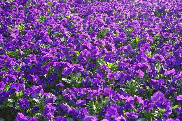 Free pansy flowers blütenmeer viola wittrockiana violet