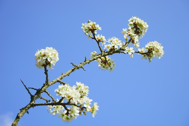 Free blackthorn flowers branch road flowers white bush
