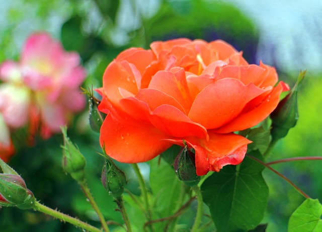 Free rose flower red pink roses flowers romantic