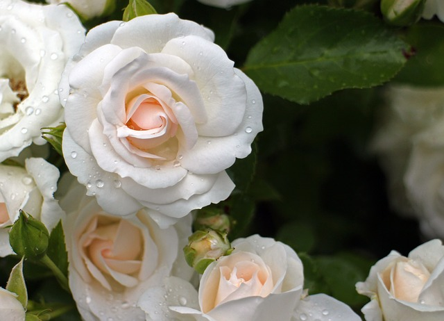Free rose flower white cream roses flowers romantic