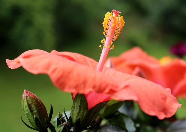 Free flower pistil hibiscus bud