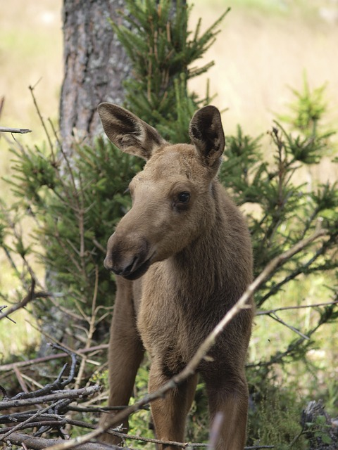 Free moose calf moose moose child young animal young