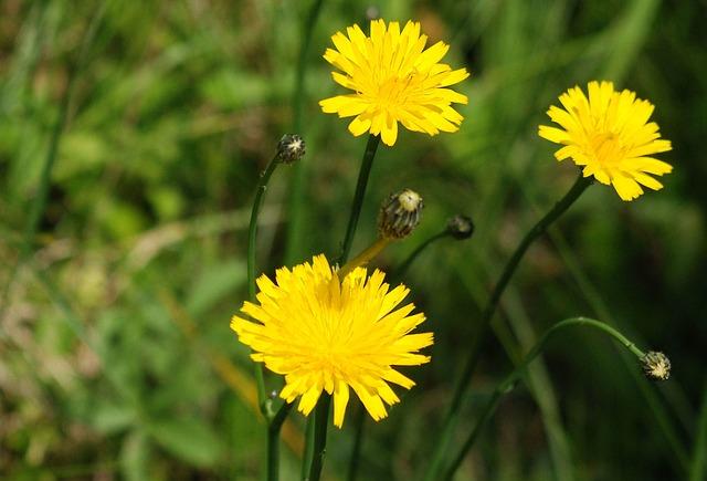 Free dandelion weed flower nature plant garden meadow
