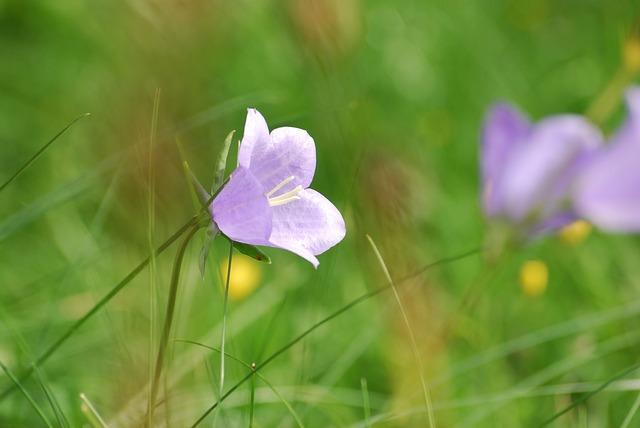 Free bellflower bells flower bloom petal delicate
