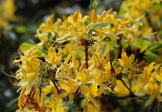 Free azalea flowering shrubs blossom floral vibrant