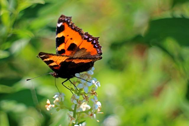Free little fox butterfly butterflies color edelfalter