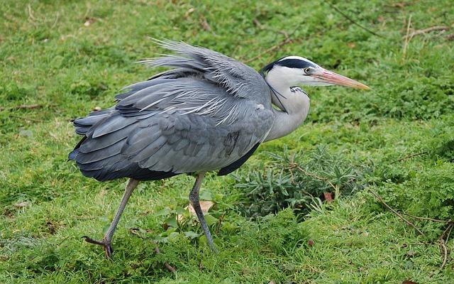 Free heron grey beak feather ornithology wild standing