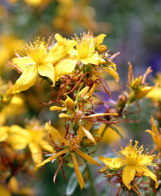 Free st john's wort flower yellow wild flower