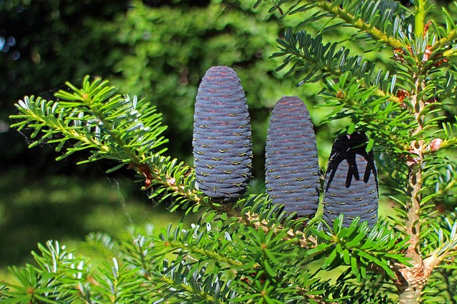 Free fir tap pine cones upright blue dark conifer