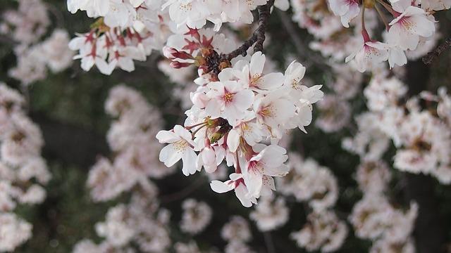 Free cherry yoshino cherry tree spring in japan