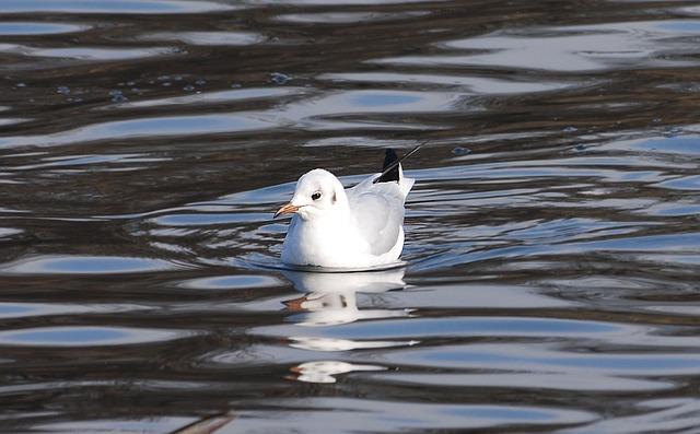 Free gull resting bird wildlife feather water