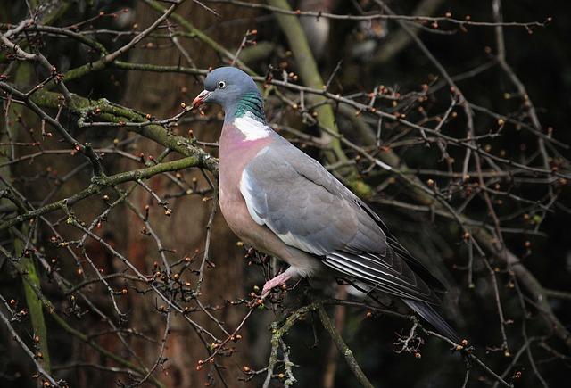 Free pigeon bird wildlife wings plumage