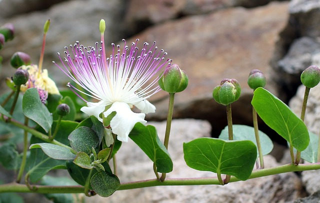 Free kapernbluete capture bud flower lipari