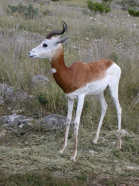 Free springbok wildlife antidorcas marsupialis animal