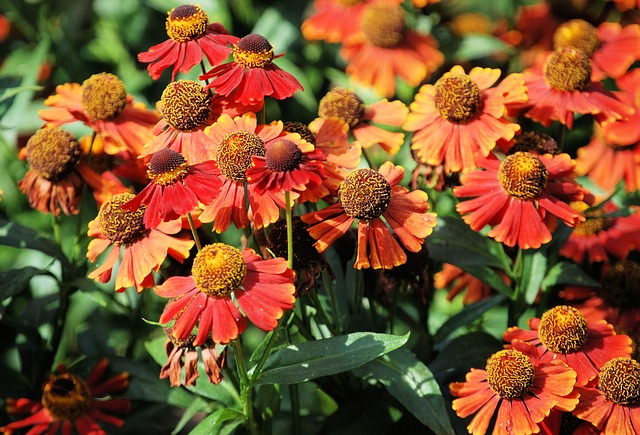 Free aster asteraceae flower floral blossom garden