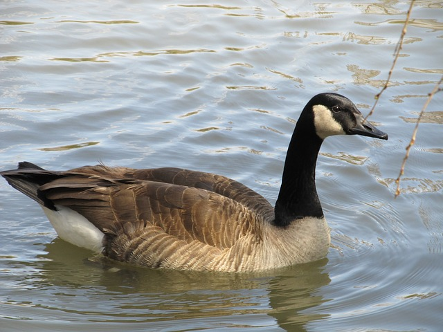Free canada goose swimming goose canadian goose