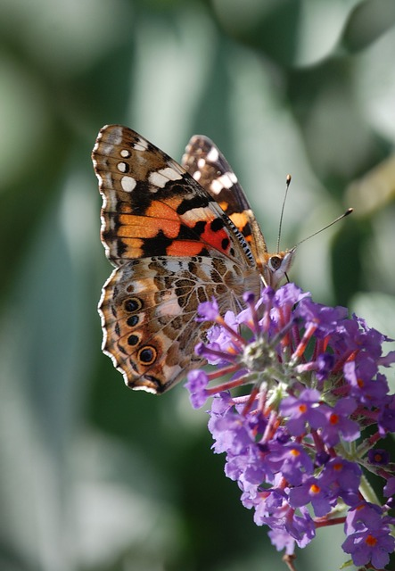 Free butterfly insect painted lady wildlife macro wings