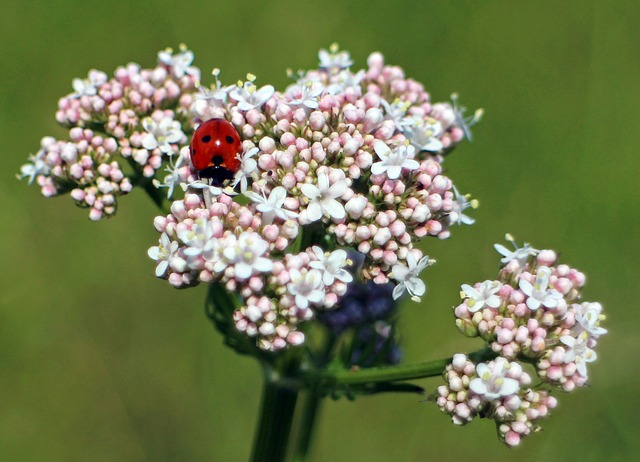 Free ladybug flower beetle nature insect fauna plant