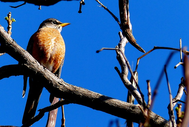 Free robin bird animal red breast