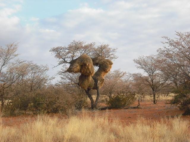 Free baobab african tree