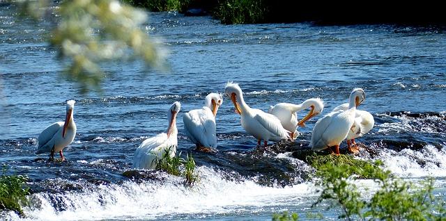 Free pelicans animals birds fishing flock