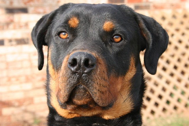 Free dog hound pet canine domestic breed rottweiler