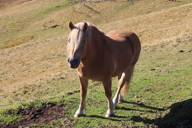 Free horse mountains haflinger mane beige horses ride