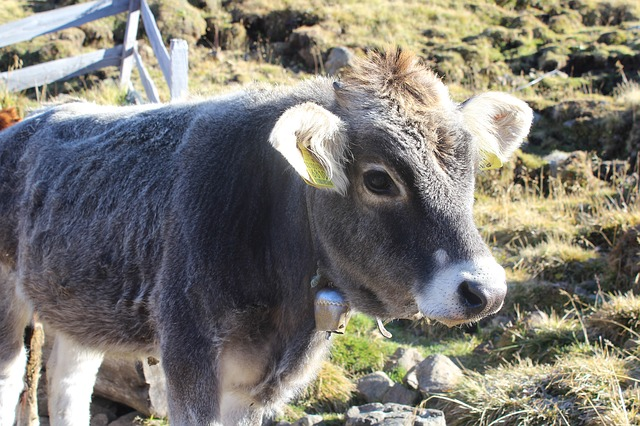 Free calf cow beef grey cowboy animal agriculture