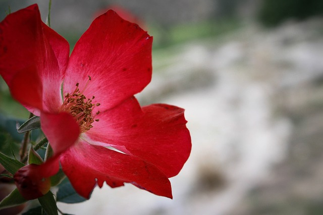 Free Photos: Rose flower red romantic nature love floral | nadya_il