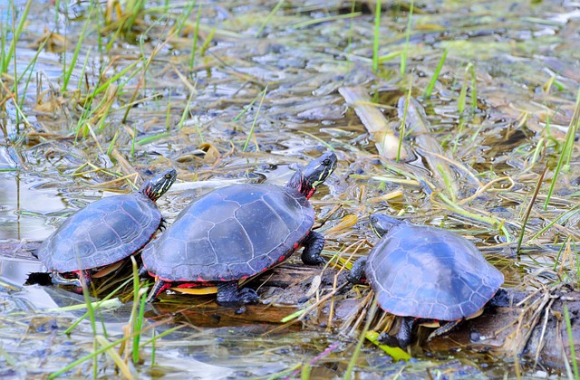 Free turtles reptile tortoise wildlife aquatic shell